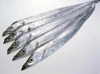 タチウオ , 太刀魚