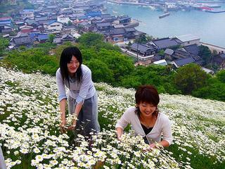 [5月14日] しまなみの風物詩 盛り迎えた除虫菊畑 20日頃までが見ごろ